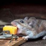 Ворюге захотелось сыра